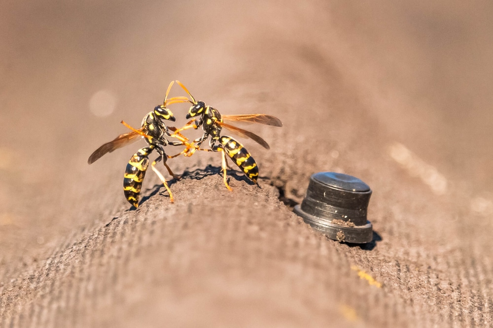 Have you seen Wasps fighting. Discover why in our wasp related article